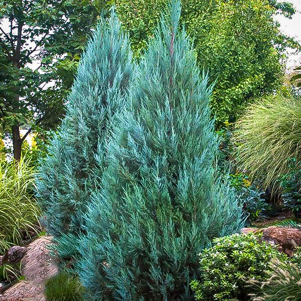 blue-point-juniper-1.jpg