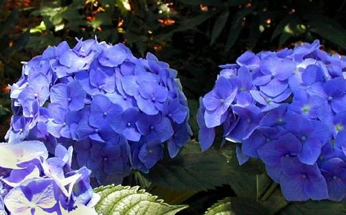 hydrangea-altona.jpg