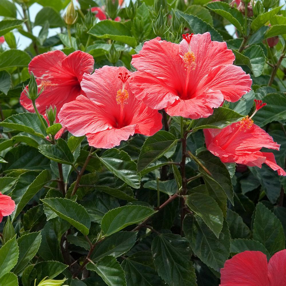 van-zyverden-shrubs-83562-64_1000.jpg