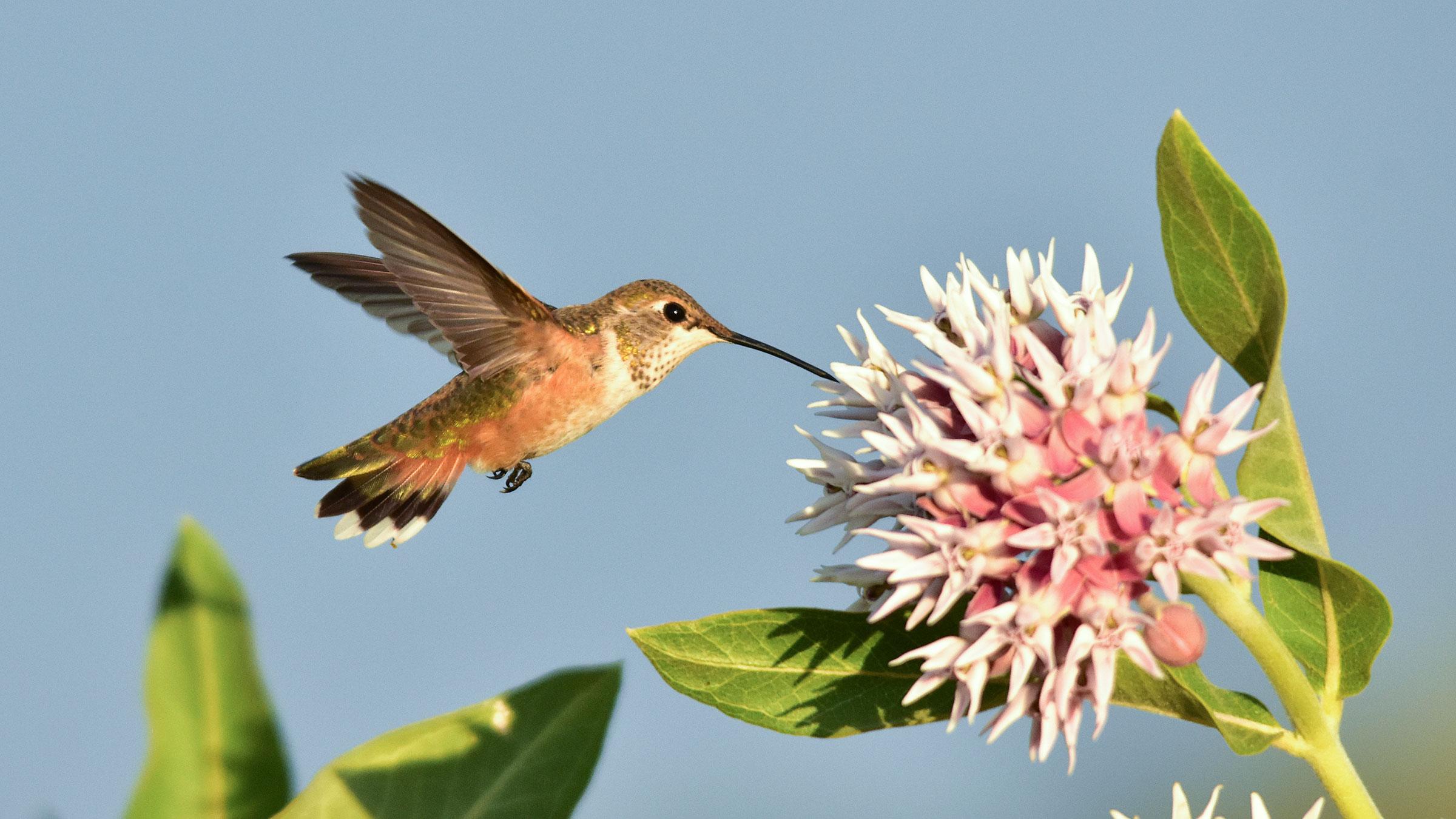 rufous-hummingbird-at-showy-milkweed_tom-koerner_usfws.jpg