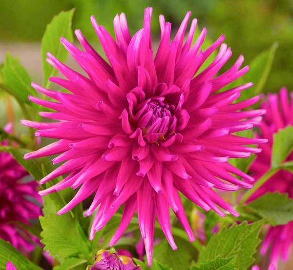 201395 Dahlia Purple GemOptimized.jpg