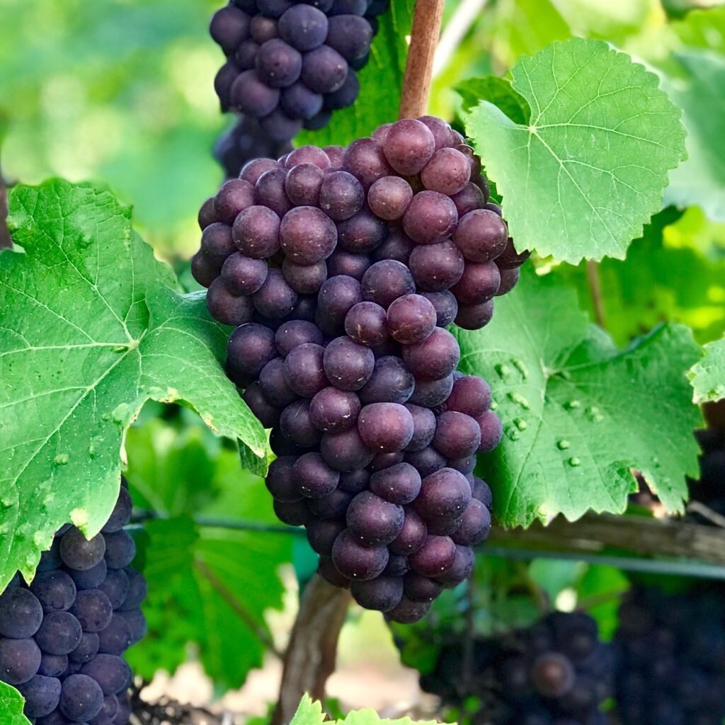 2019 Willamette Valley Pinot Gris Frozen Grape Juice — Wine Grapes Direct