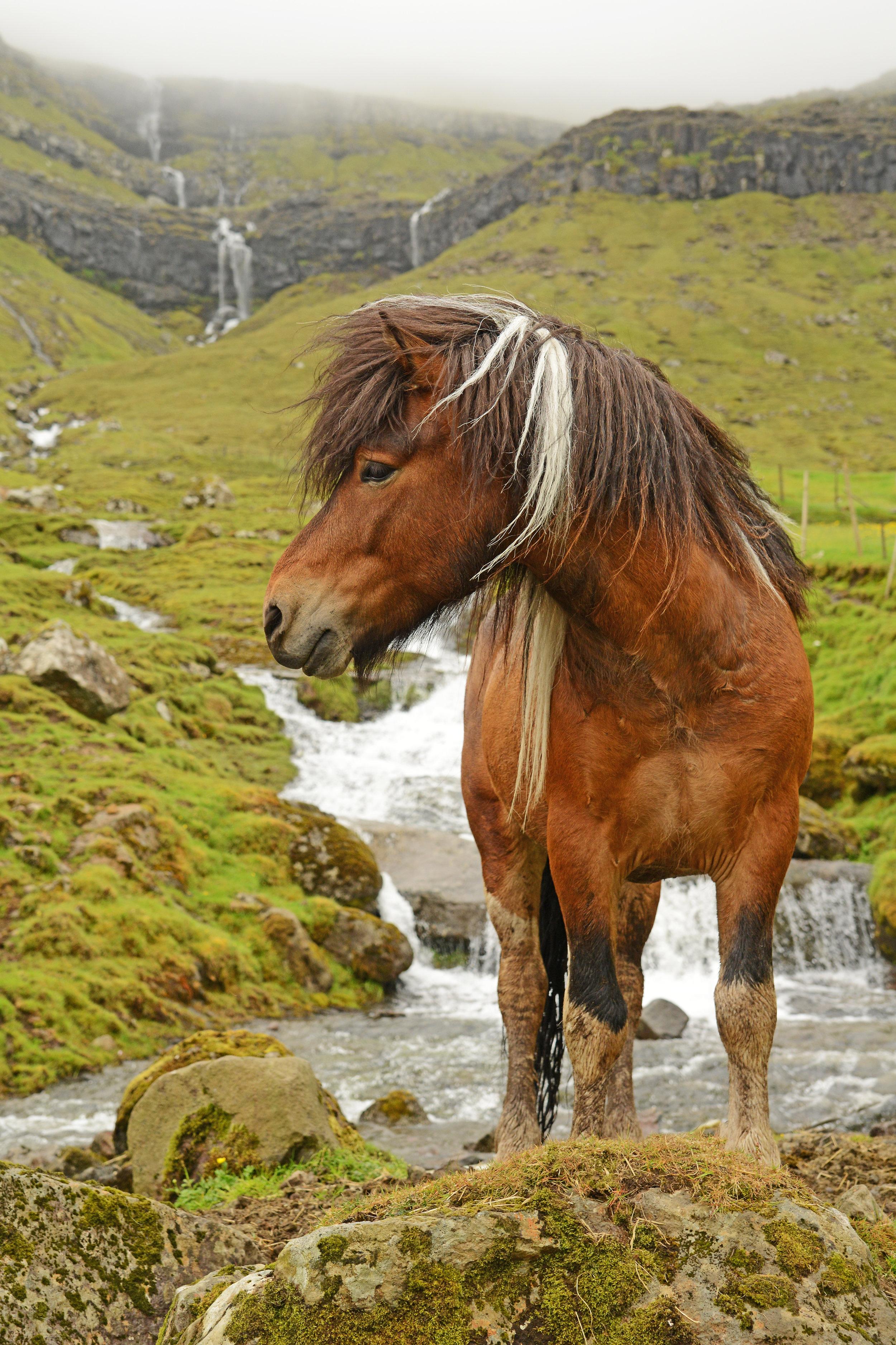 DSC_0691 Meldur, Faroess Stallion. Signabø, Signabøur, Streymoy, FI. 6-2018. altered .jpg