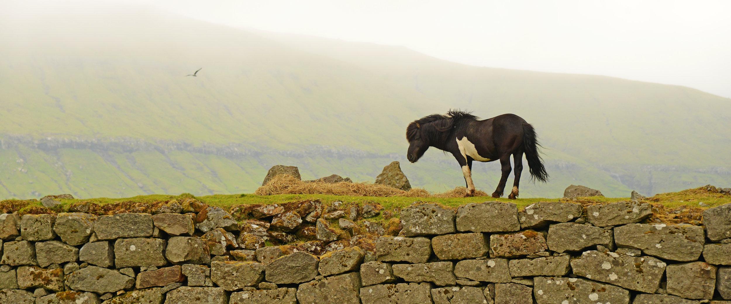 DSC_1108. Prince. Faroese stallion. Signabø, Streymoy, FI. 6-2018. altered .jpg