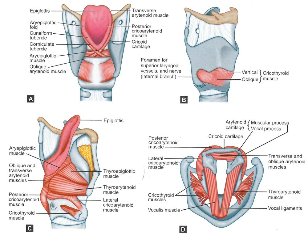 The intrinsic muscles of the larynx. From Sataloff, R.T., Chowdhury, F., Portnoy, J., Hawkshaw, M.J., Joglekar S. Surgical Techniques in Otolaryngology – Head and Neck Surgery: Laryngeal Surgery. New Delhi, India: Jaypee Brothers Medical Publishers; 2013 with permission.