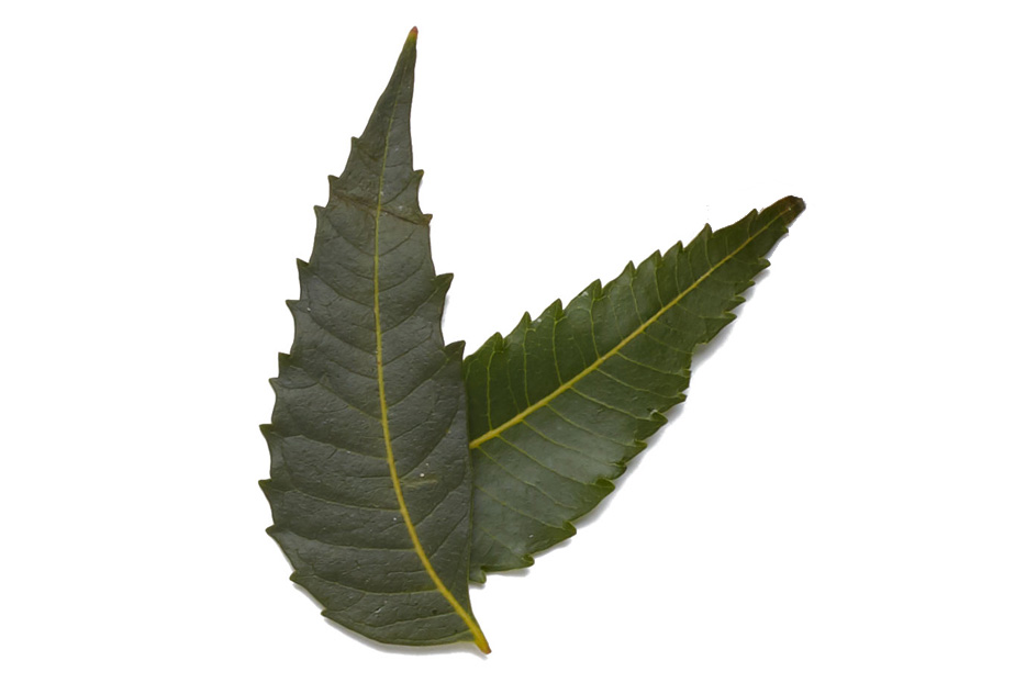 Neem - Herb used in Ayurveda for thousands of years for its anti-bacterial, antiseptic and astringent qualitiesAyurvedic skin purifier known for its skin soothing properties