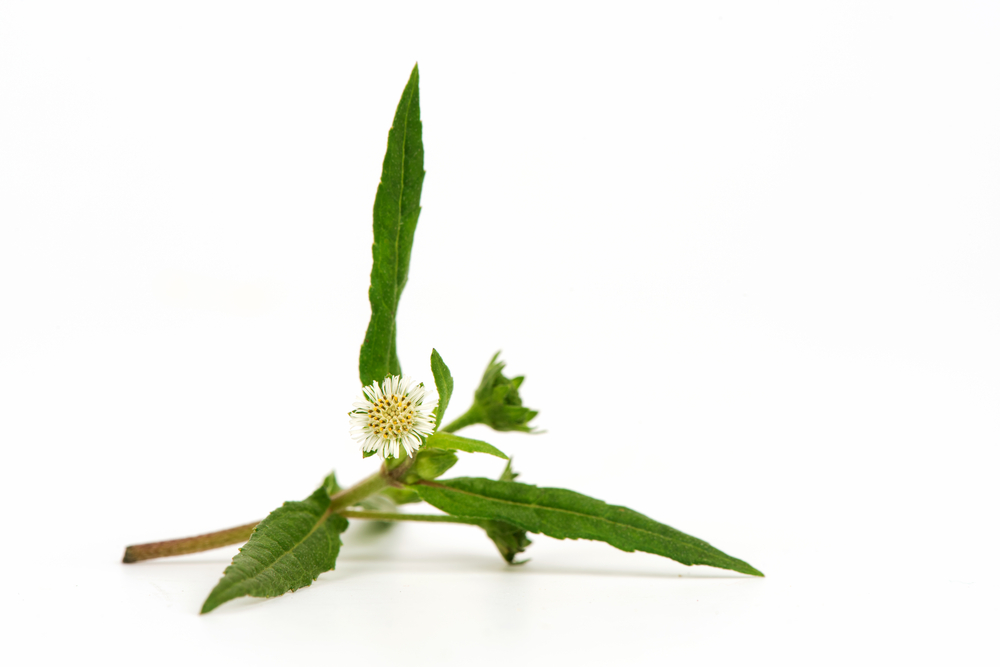 Bringraj - Herb used in Ayurveda for thousands of years for its powerful anti-inflammatory and skin rejuvenating benefits