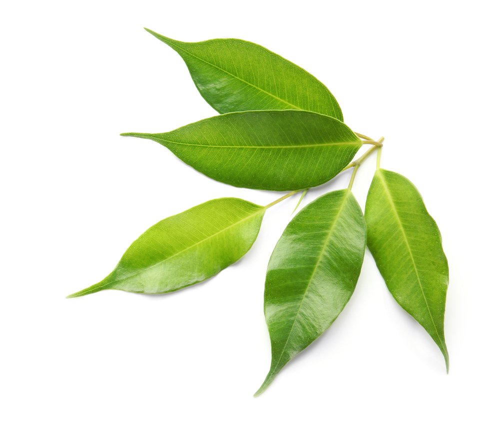 Tea Tree Oil - Used in Ayurveda for thousands of years as an anti-bacterial and anti-fungal