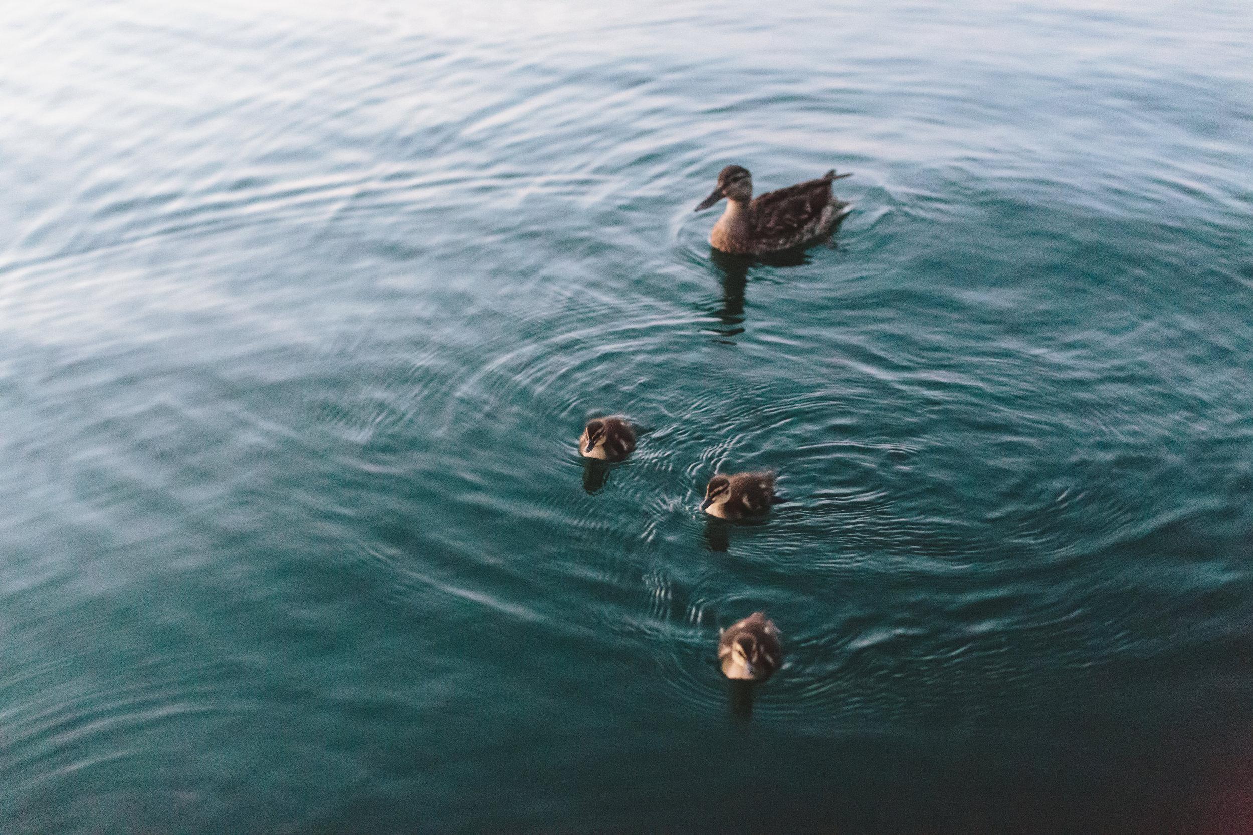 Mama and Baby Ducks.jpg