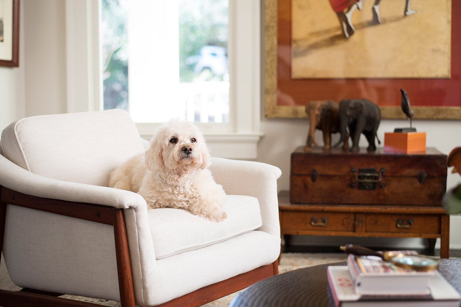 Dog lounging on ivory arm chair in sitting room