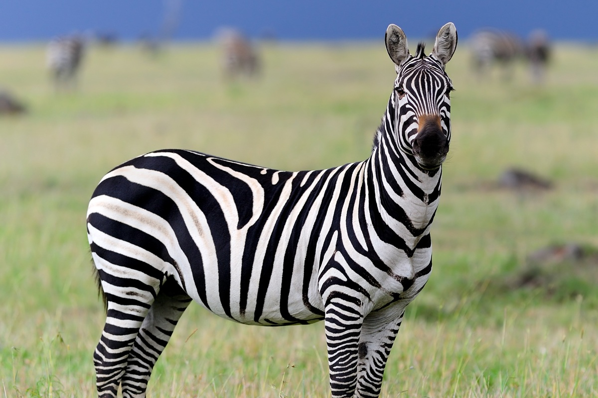 zebra-original.jpg