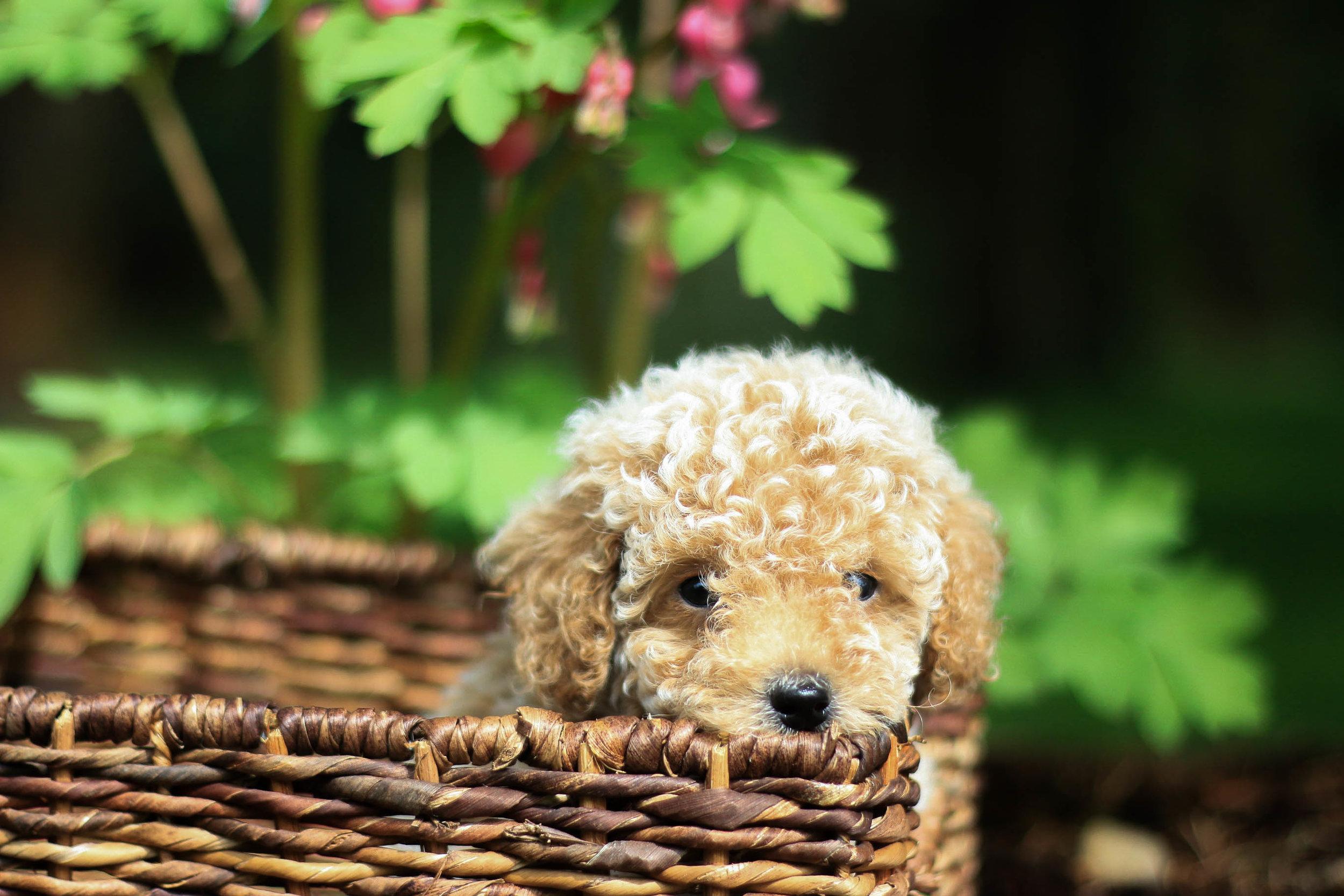 Mini Goldendoodle puppies.jpg