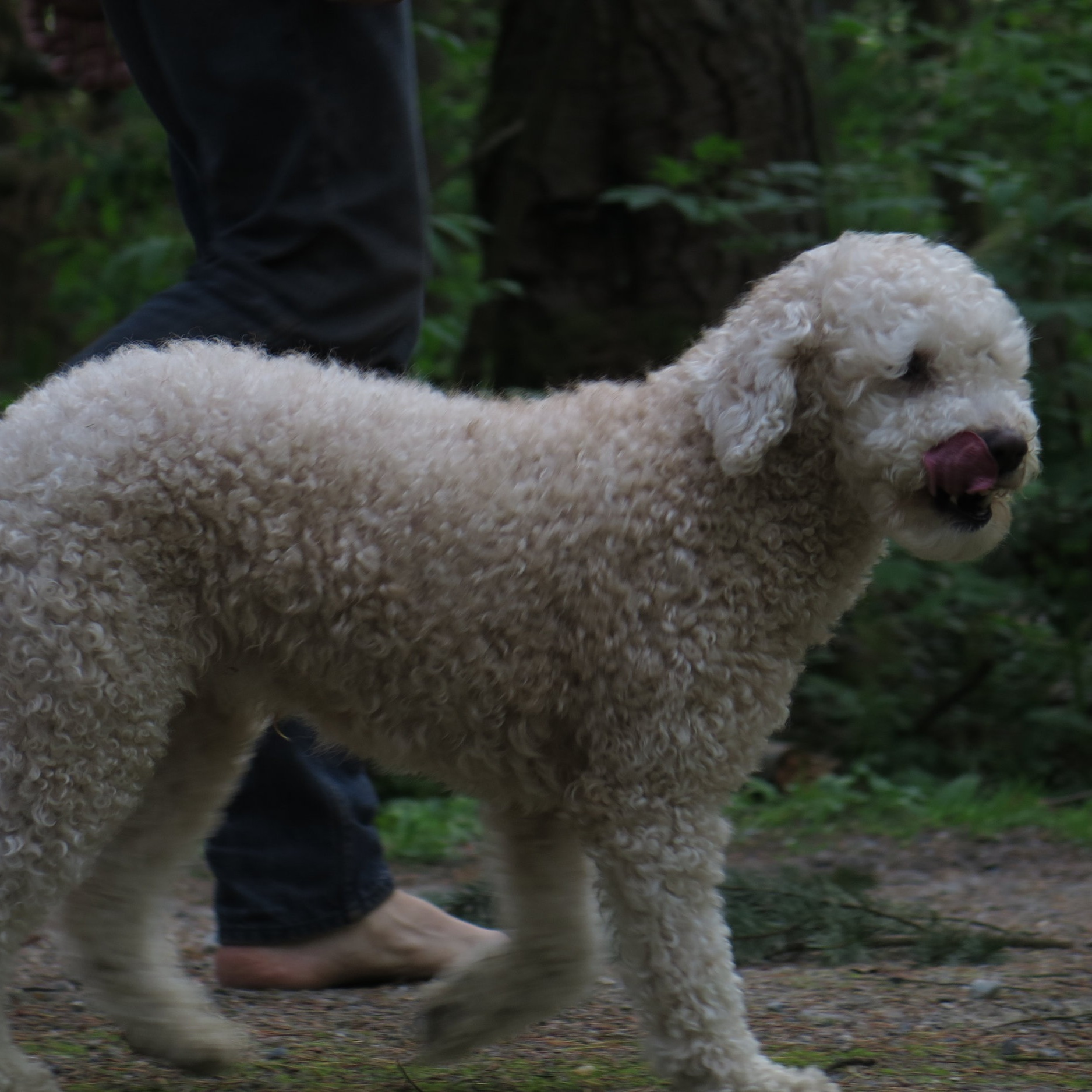Easy to Train - Mini Goldendoodles are incredibly intelligent, which makes them highly trainable. Through a treat system, we've taught our dogs to stay, come, and even shake a paw. They love catching balls or sticks but sometimes need a bit of persuasion to surrender them once caught.