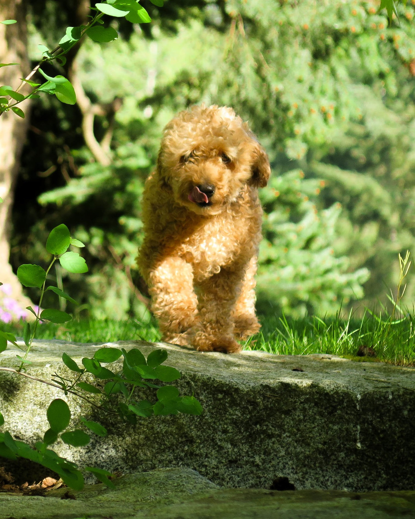 Sparkle - Small but spunky describes Sparkle, our 8 pound female Mini Goldendoodle. With her gentle and obedient but occasionally adventurous spirit, she spends her time frisking with her mom and friends and finding things to chase at her home. She has beautiful smaller puppies admired by all who catch a glimpse of them.Eileen from Langley, BC