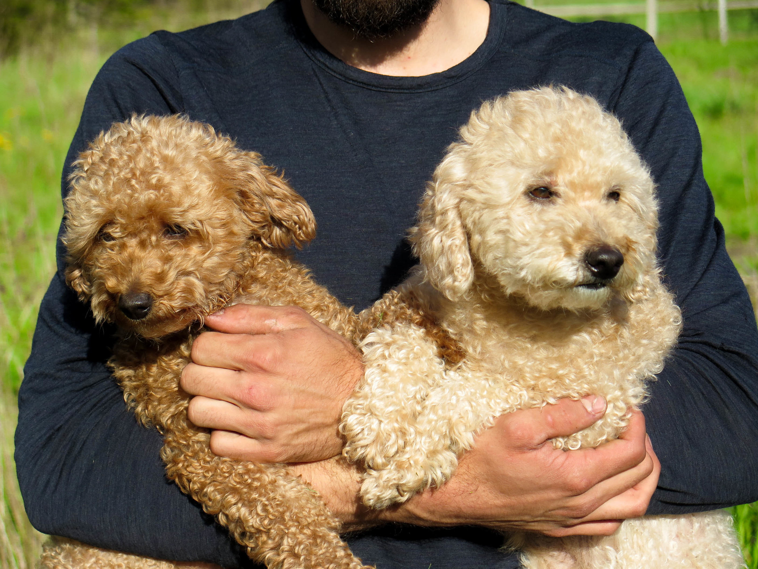 Mini Goldendoodle Puppies For Adoption Vancouver Bc