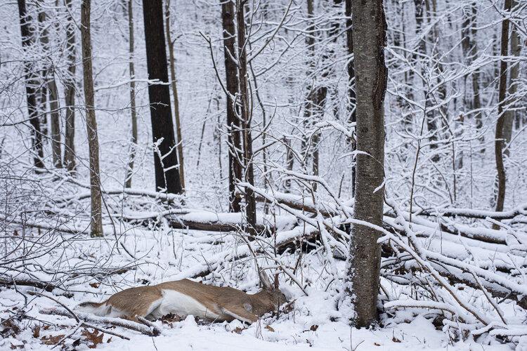 گوزن در snow.jpg