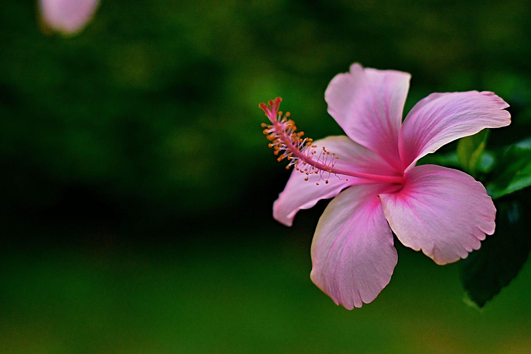 hibiscus-1520217326.jpg