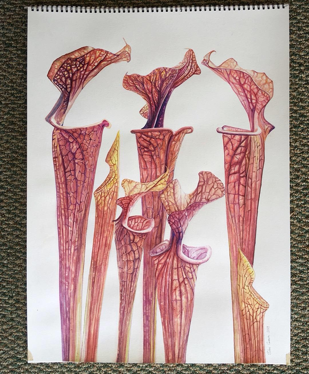 Sarracenia flava var. rubricorpora, 18x24