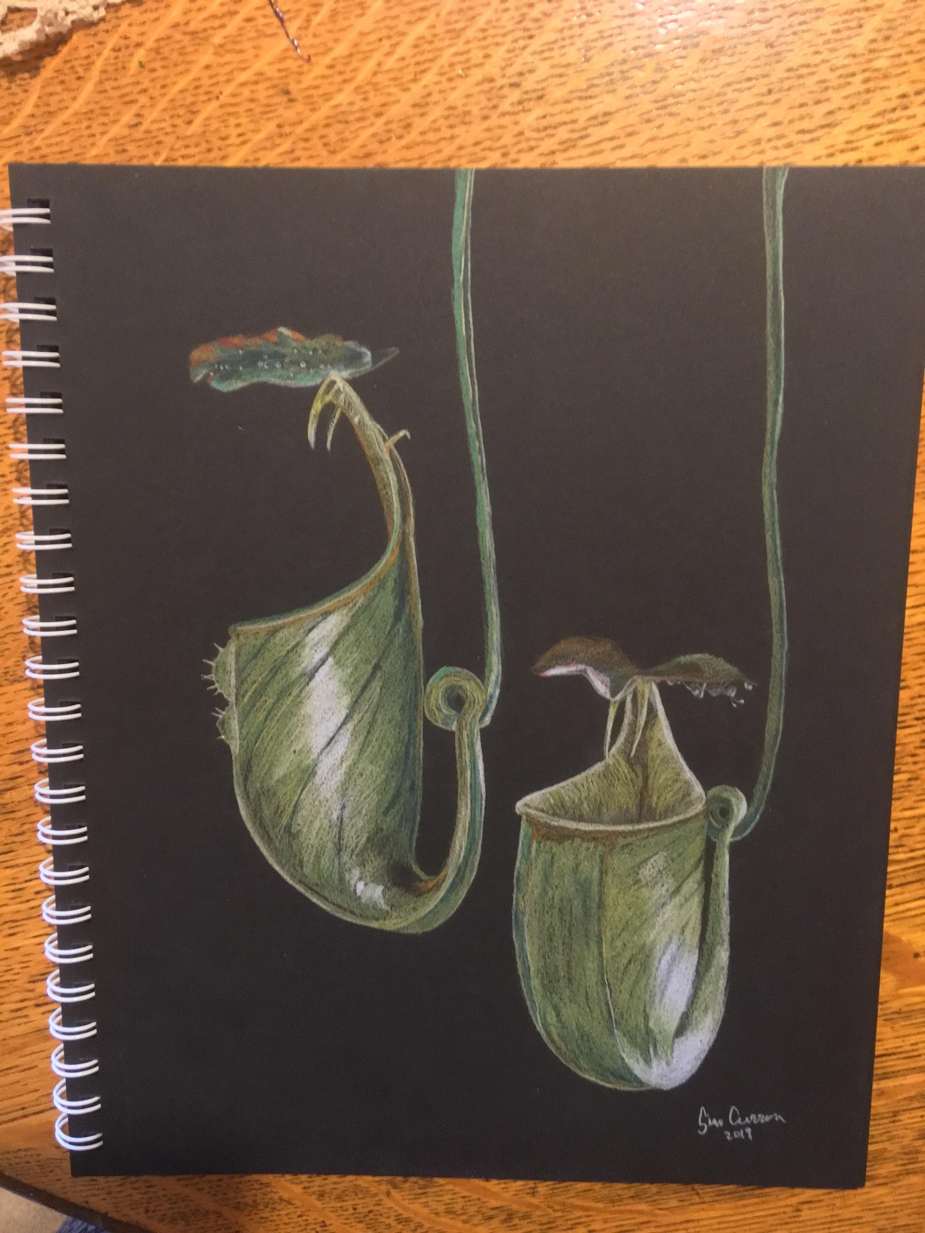 Nepenthes bicalcarata, 9x11