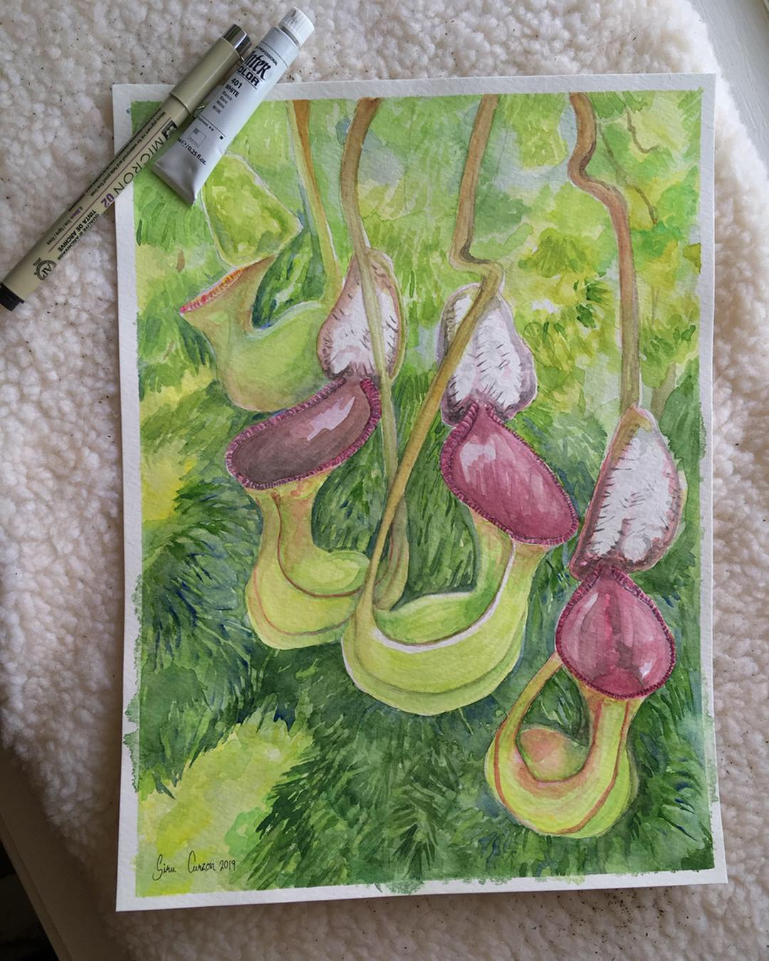 Nepenthes lowii, 9x11