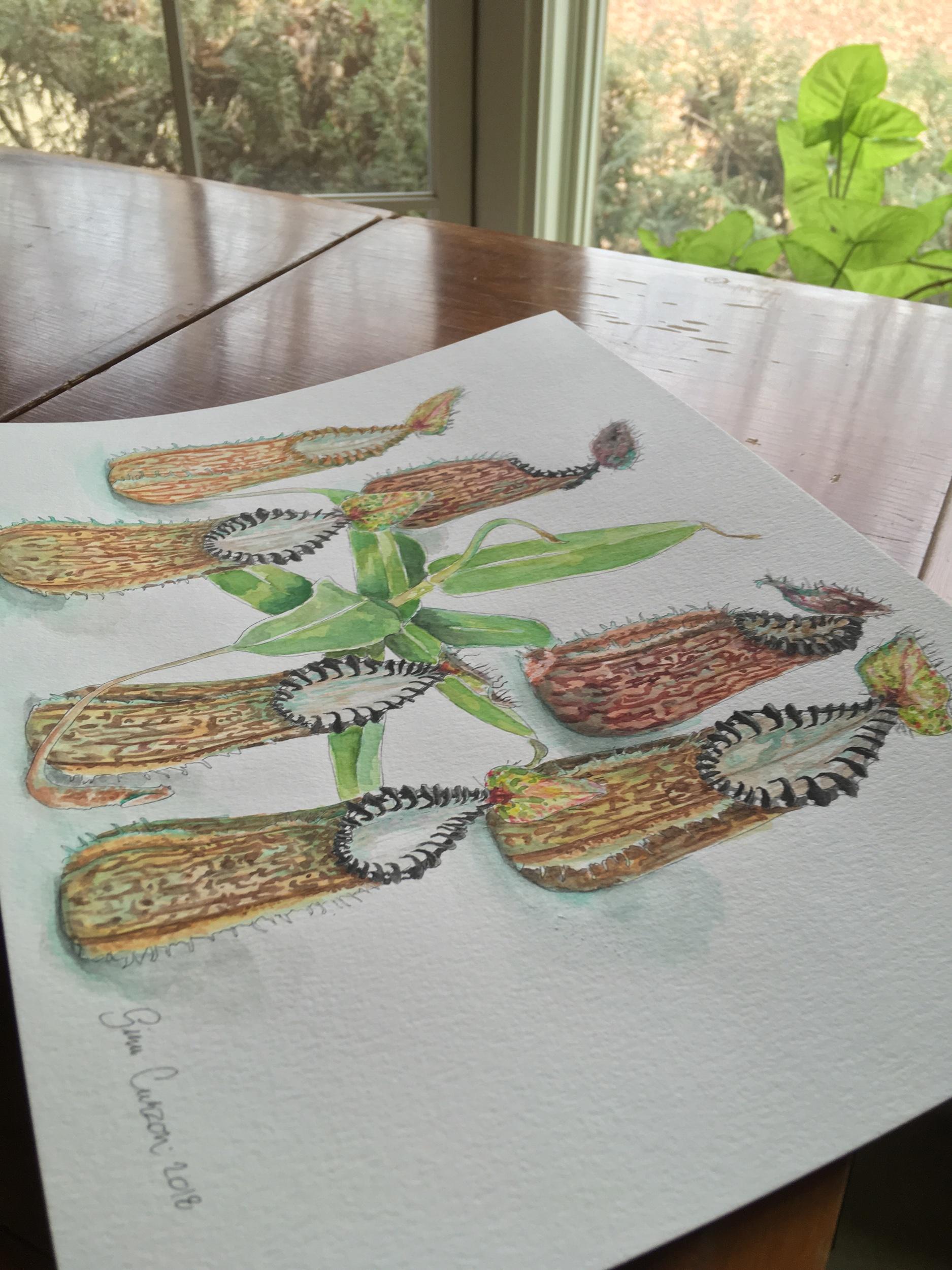 Nepenthes hamata, 9x11