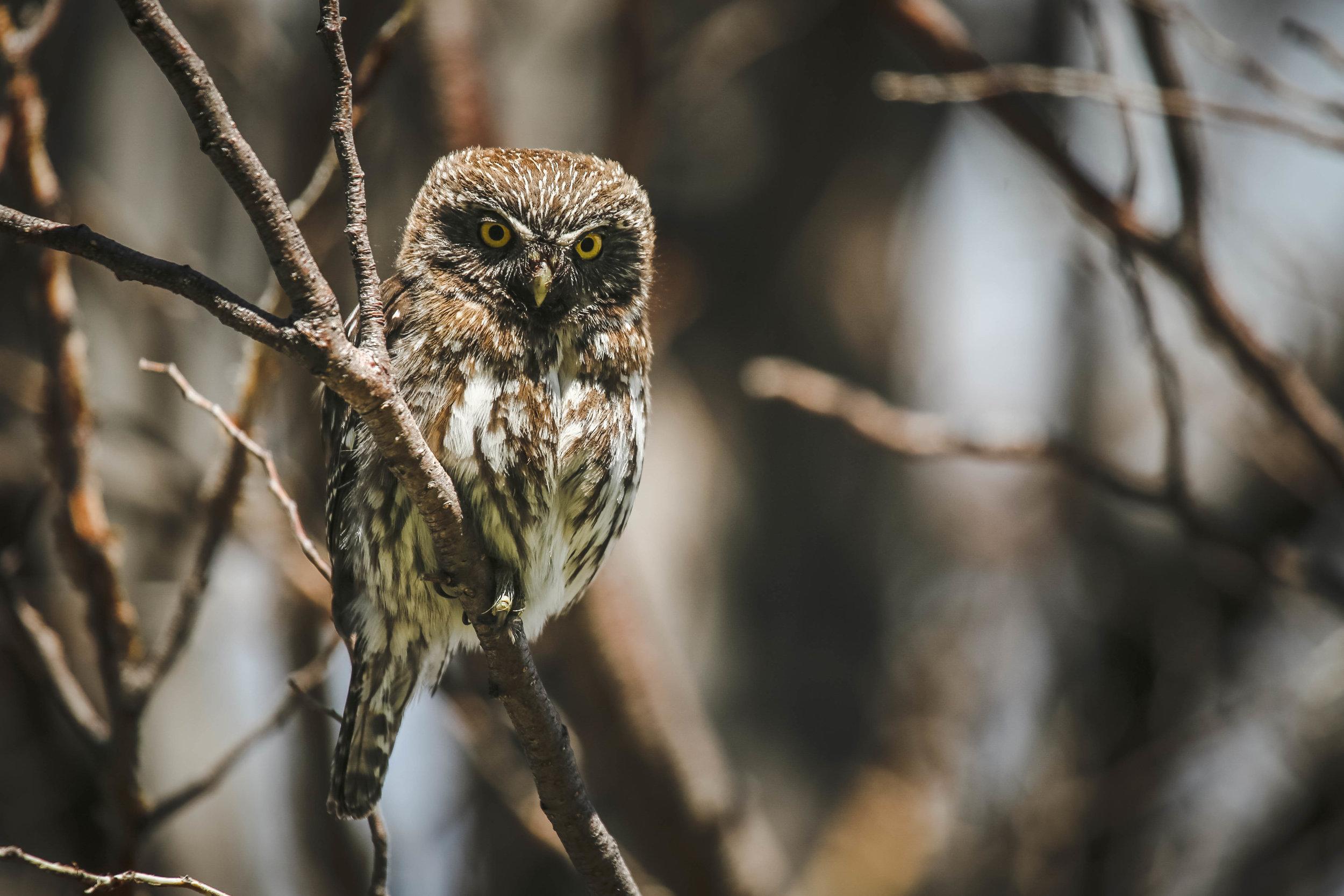 Pigmy Owl – Patagonia, Chile