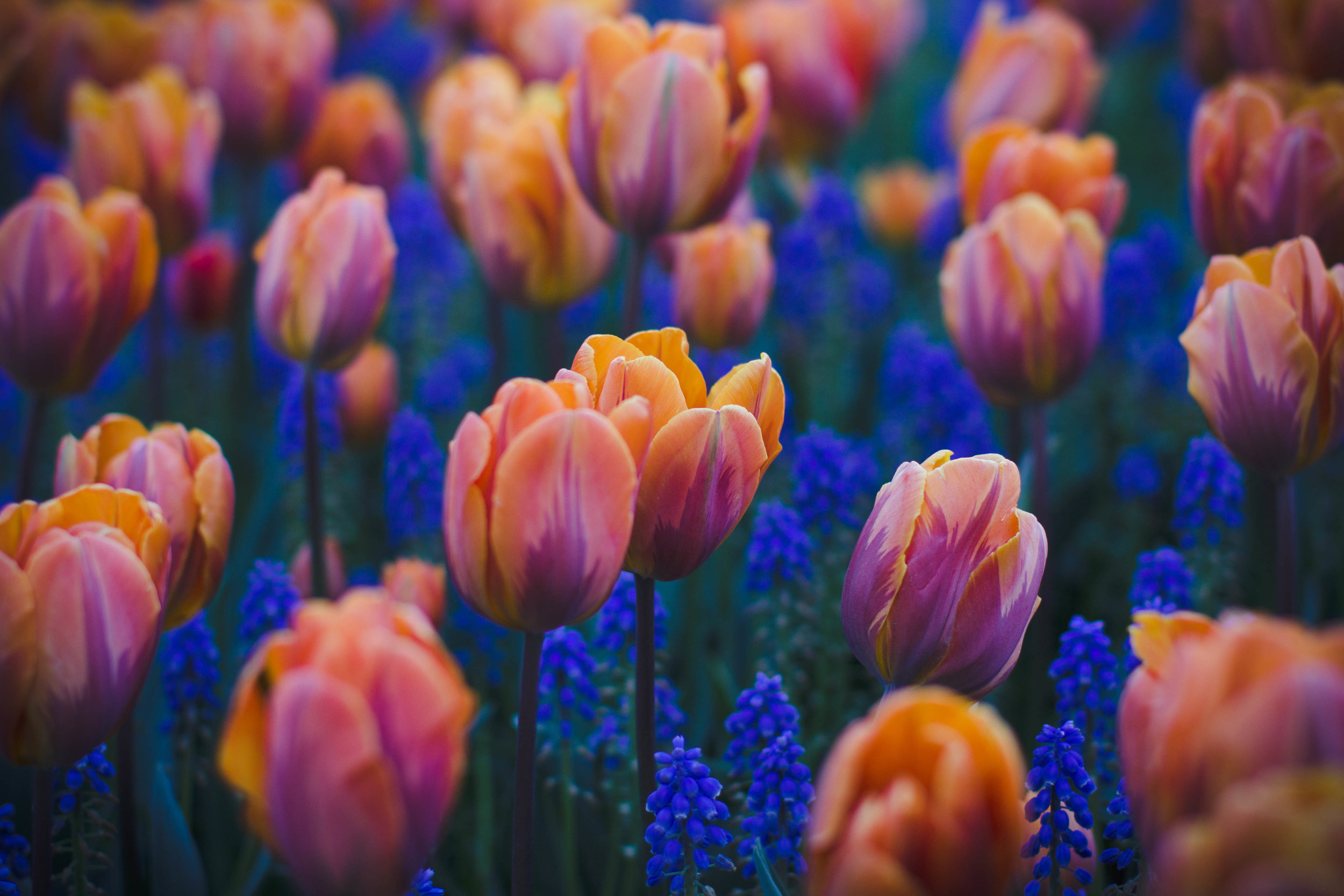 Tulips – Skagit Valley, Washington