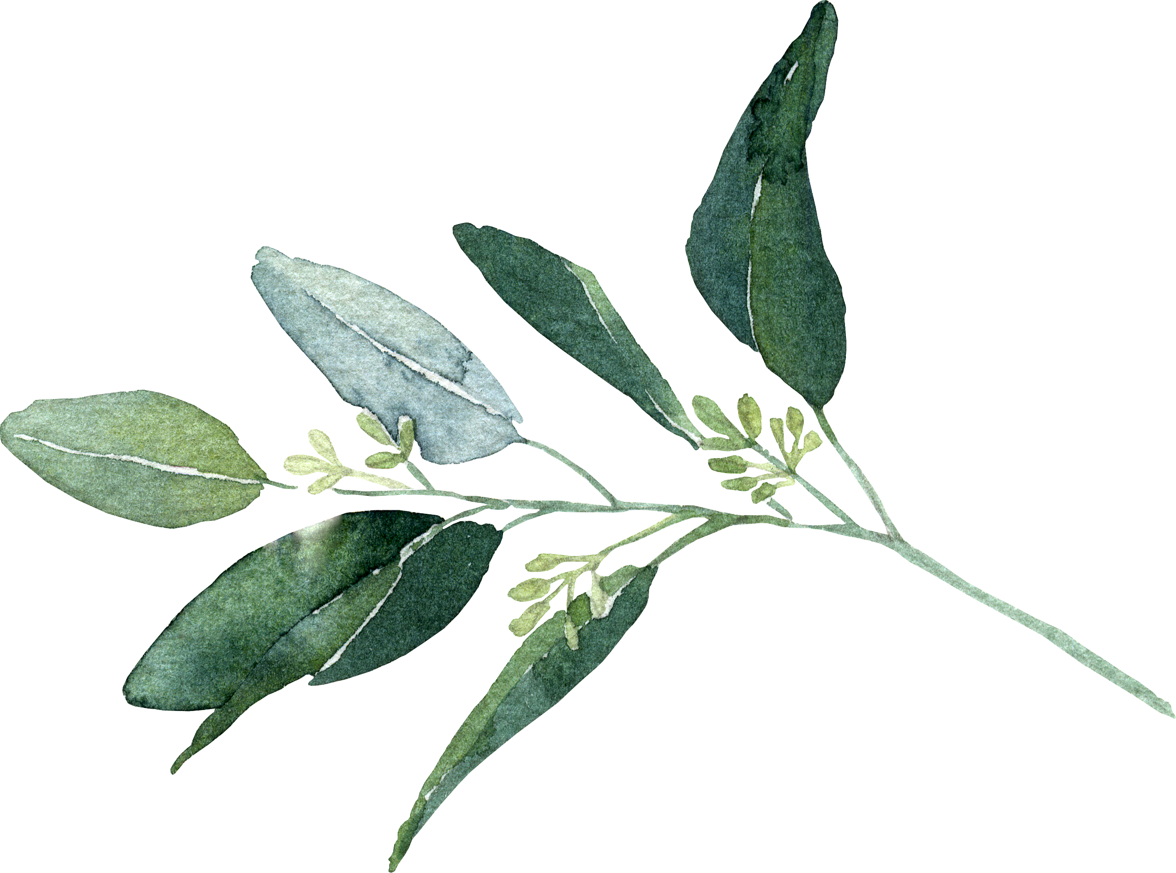 seeded eucalyptus.png