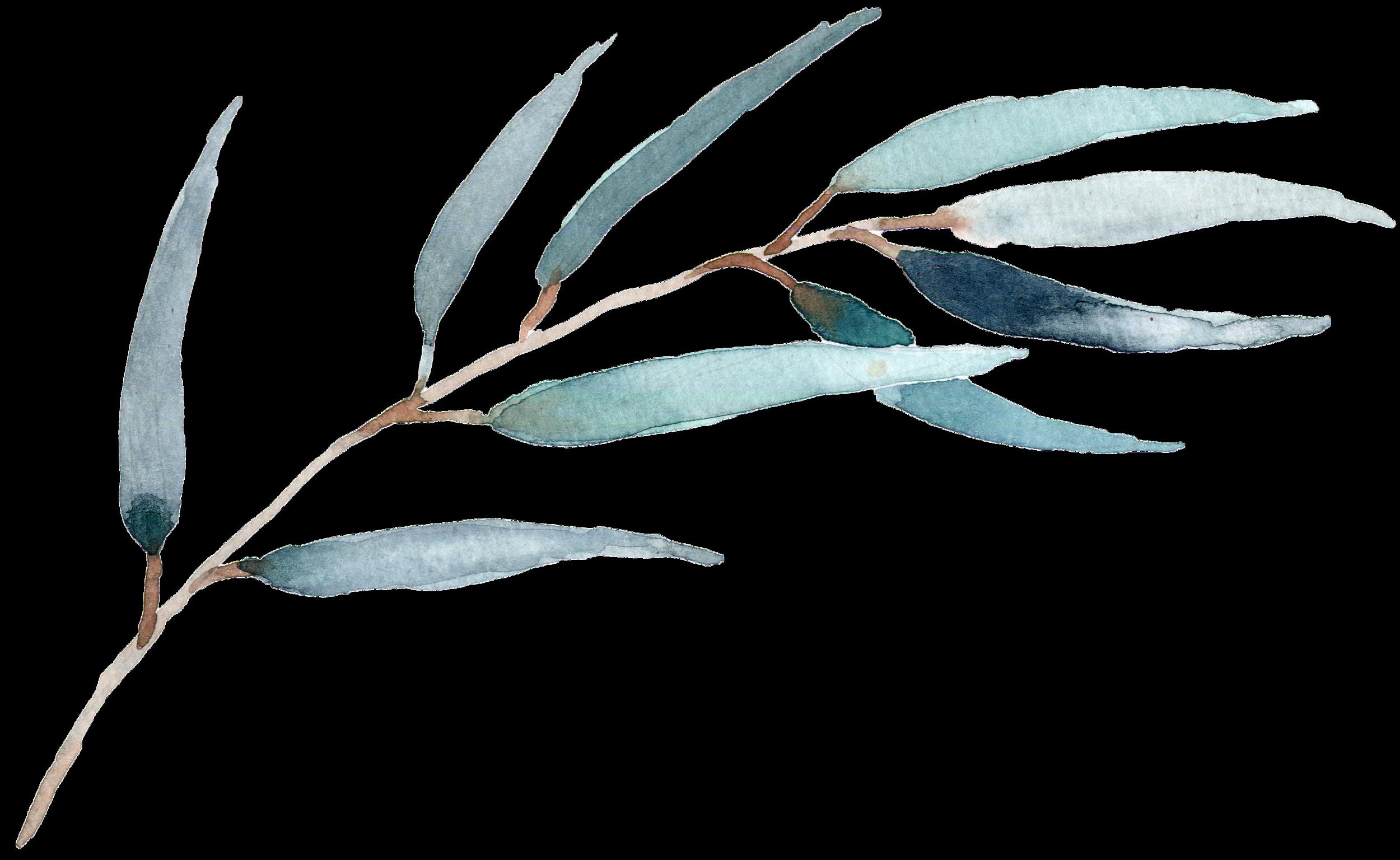 Eucalyptus willow.png