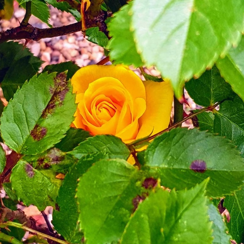 A photograph of the yellow rose planted by Cal for her friend Naomi