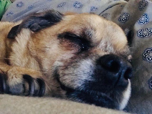 Sweet dreams. . . . .  #chugsofinstagram #pug #chihuahua #furbaby