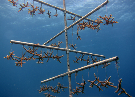 In the waters around Florida, Puerto Rico, and the U.S. Virgin Islands, NOAA works with a number of partners in various capacities to maintain 27 coral nurseries. - NOAA uses coral nurseries to help corals recover after traumatic events, such as a ship grounding. Hung on a tree structure, the staghorn coral shown here will have a better chance of surviving and being transplanted back onto a reef. (NOAA)