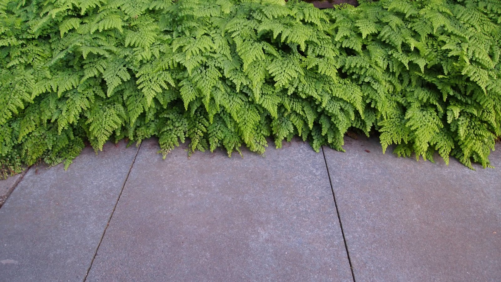 EVERGREEN GROUNDCOVERS, SAW-CUT CONCRETE