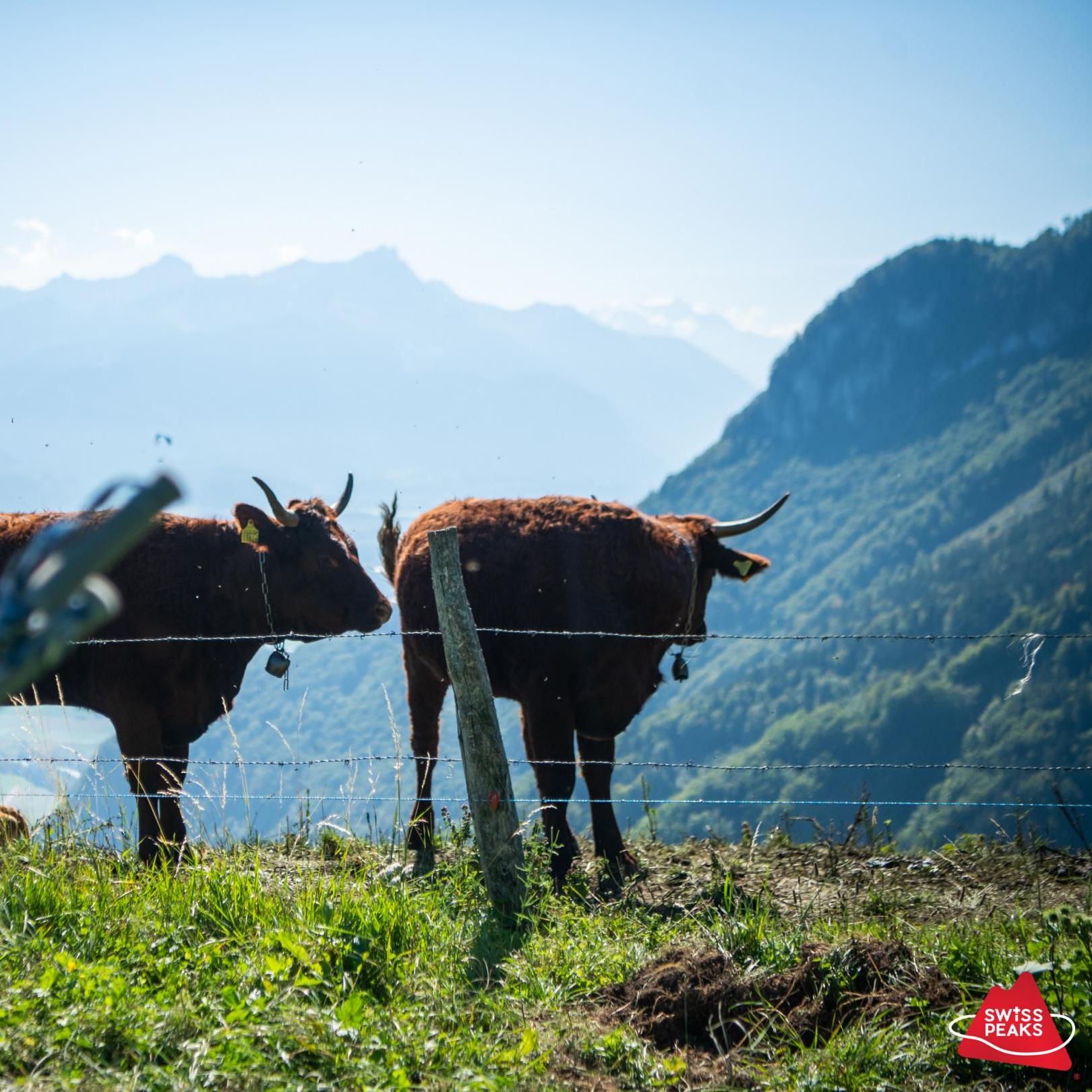 SwissPeaks Trail_Vaches.jpg