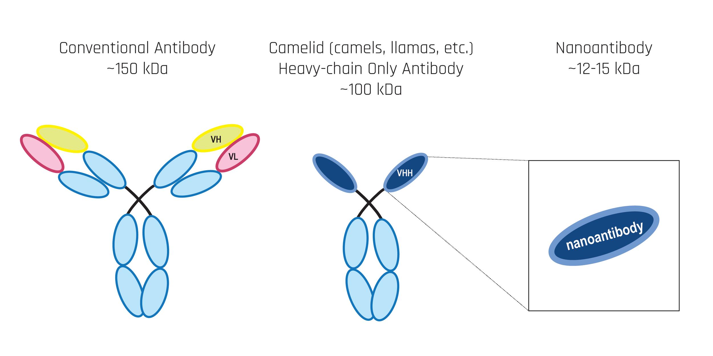 Antibodies-01.png