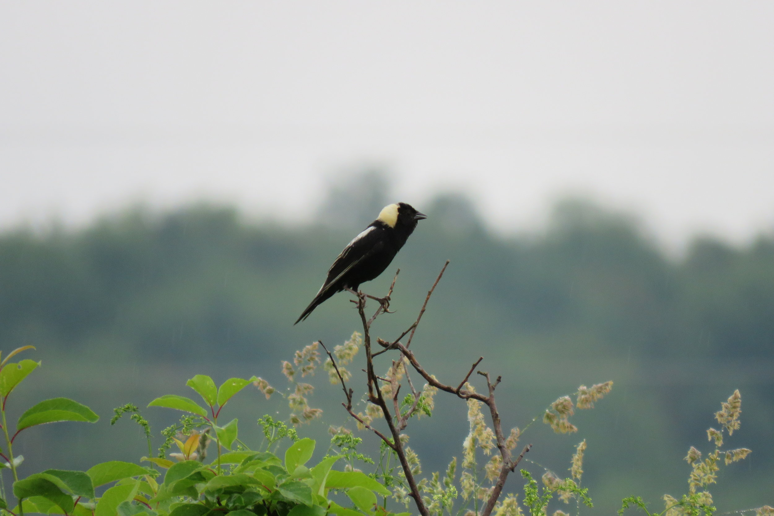 A male bobolink perches on a branch. The bobolink population dropped 75 percent in 50 years.