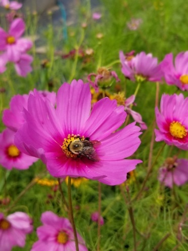 NCSU+Pollinator+Project+-+Bombus+on+cosmo+flower.jpg