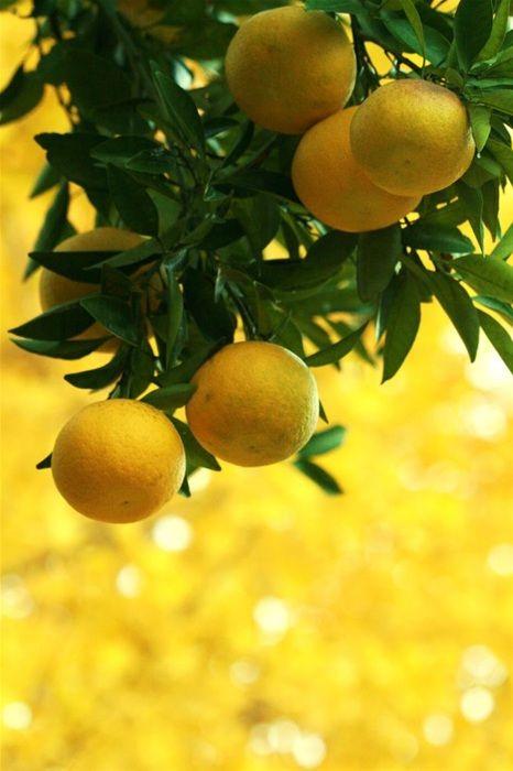 4dc1bd06b4cf0bd091b9b88be2cee998--lemon-yellow-lemon-lime.jpg