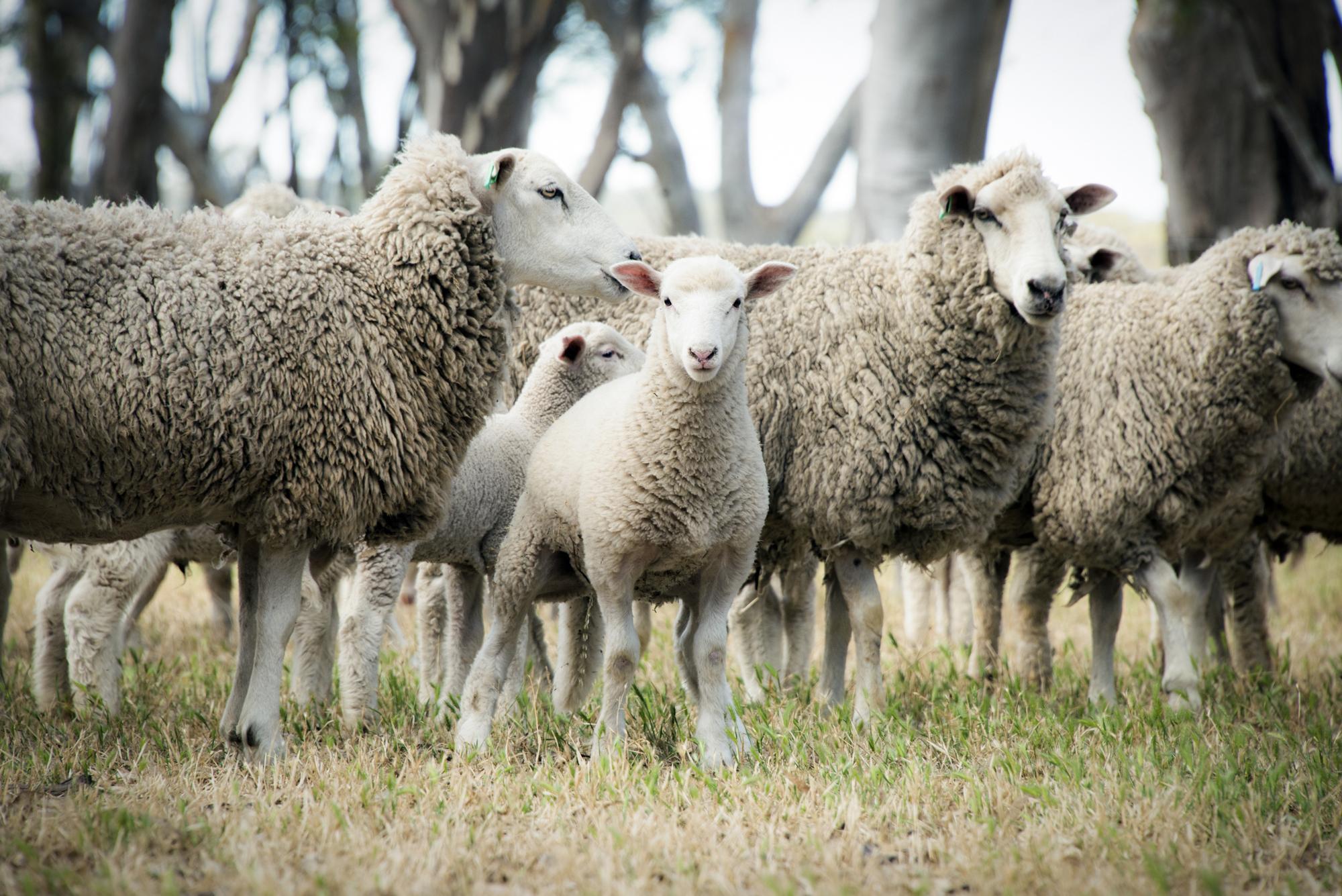 Livestock for Sale -