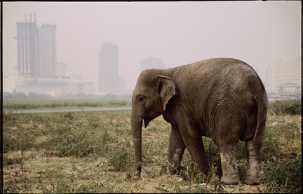 The Urban Elephant