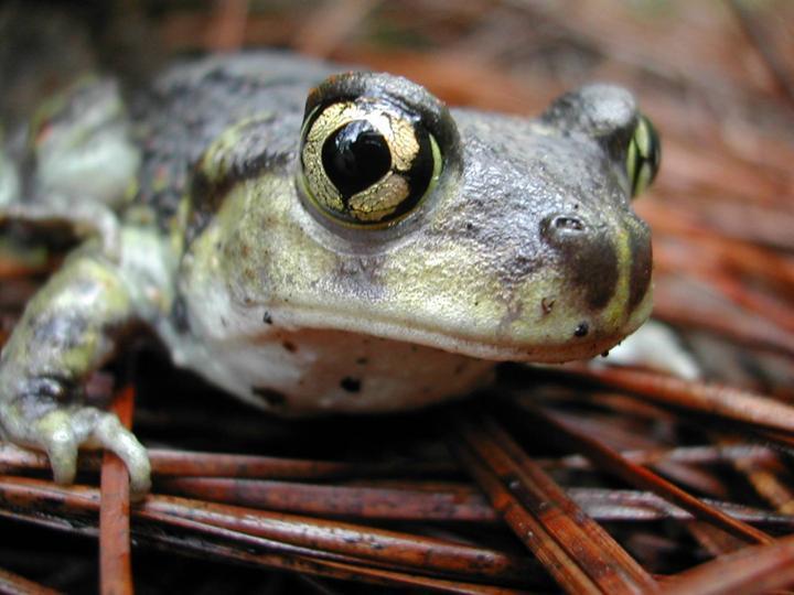 Brad Timm Eastern Spadefoot Toad 1.jpg