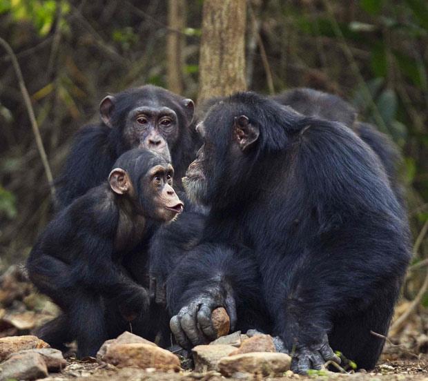 chimpanzee 2.png