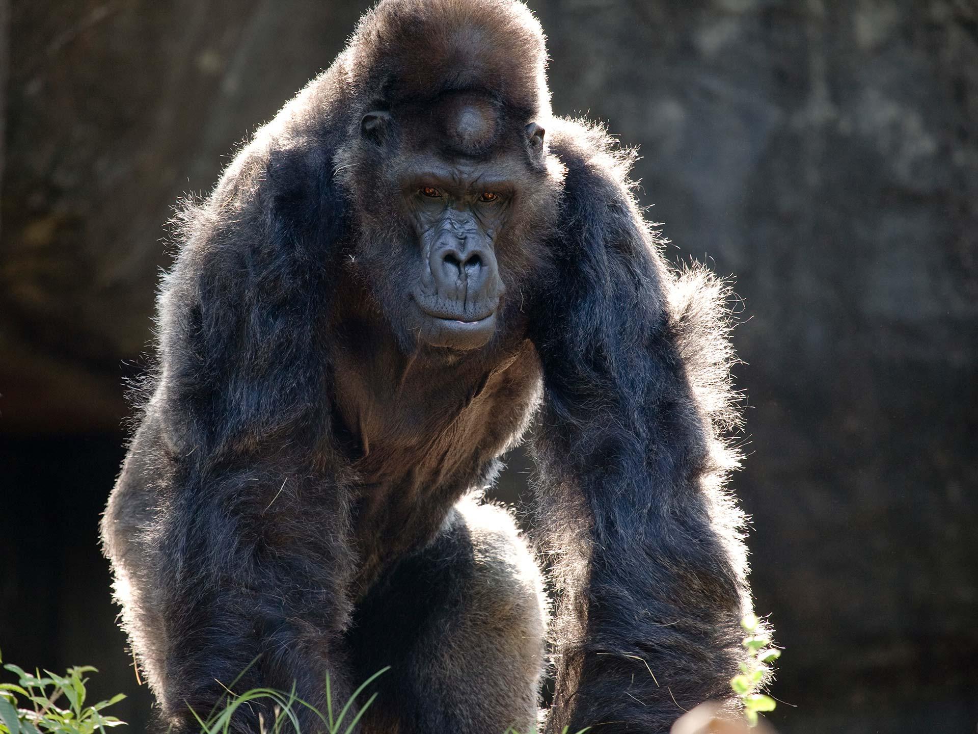 The Urban Gorilla