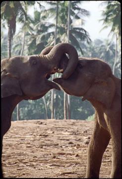 two elephant.jpg