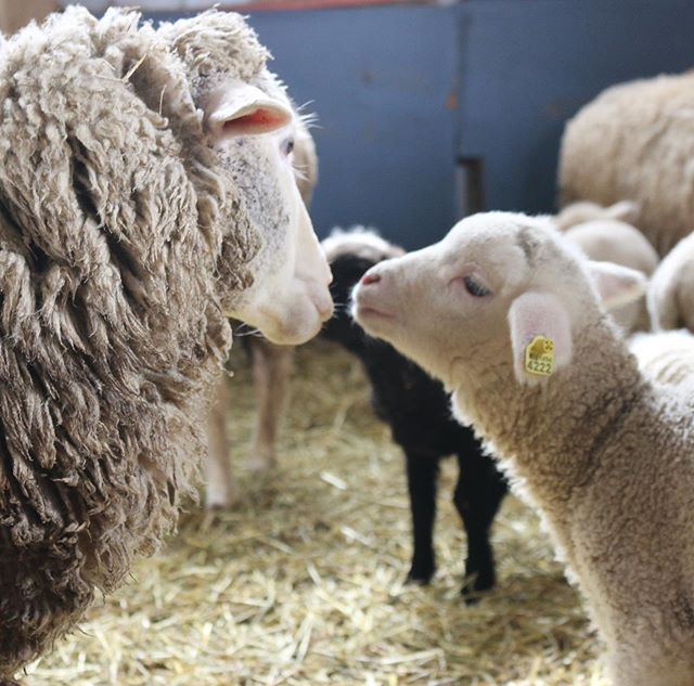 An ewe and her lamb 💕 Happy Mother's Day! #happygoatluckyewefiberfarm [image: an ewe and her lamb looking at each other nose-to-nose in a barn]