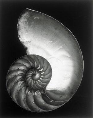 Edward-Weston-Shell-2.jpg