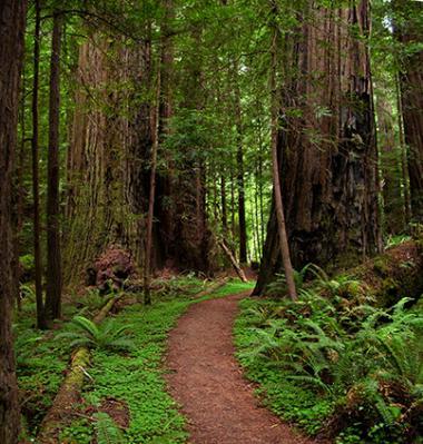 Ginny Dexter-humboldt redwoods.jpg