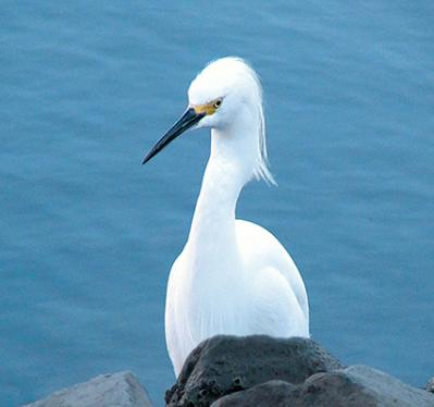 Ginny Dexter-snowy egret.jpg