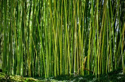 Jon Exley-biltmore bamboo.jpg