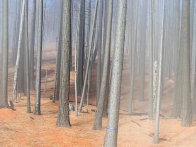 Joseph Wilhelm-burnt trees, weaverville, ca, 2002.jpg